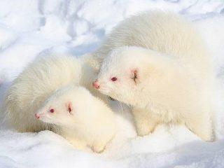 Хорек домашний белый: фото