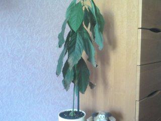 Что делать, если листья авокадо чернеют и сохнут