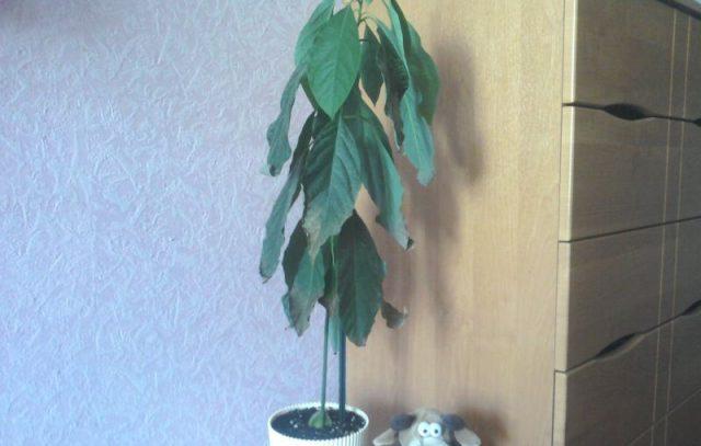Листья авокадо чернеют что делать
