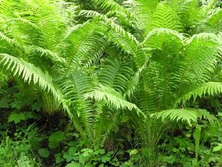 Папоротник лесной: фото, описание