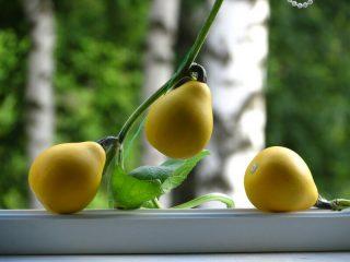 Вьющаяся декоративная тыква: фото, выращивание