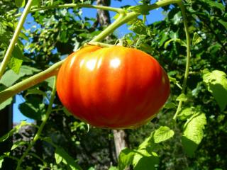 Томат Король Королей: отзывы, фото, урожайность