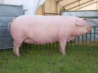 Какой выход мяса у свиней (в процентах)