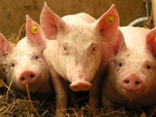 Дрожжевание кормов для свиней