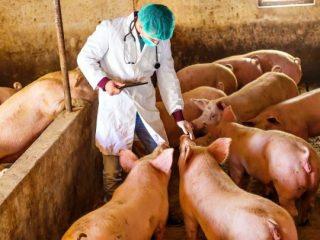 Пастереллез свиней: симптомы и лечение, фото