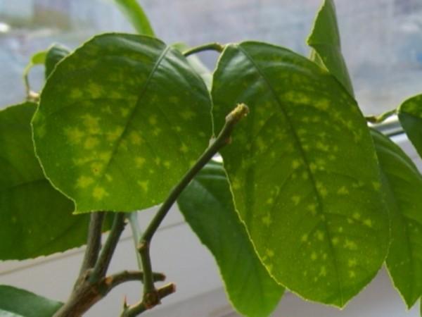 Болезни и вредители домашнего (комнатного) лимона фото и описание, причины и лечение