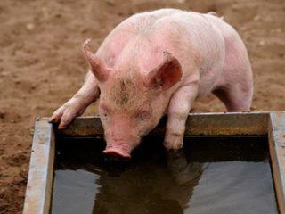 Поилка для свиней своими руками