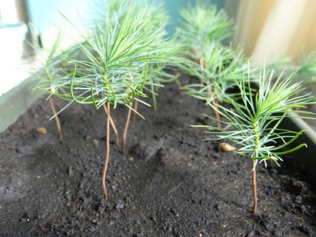 Сосна веймутова сорта, выращивание, болезни, размножение, фото