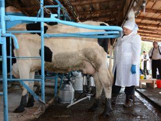 Станок для доения коровы своими руками