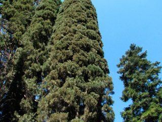 Кипарис вечнозеленый пирамидальный