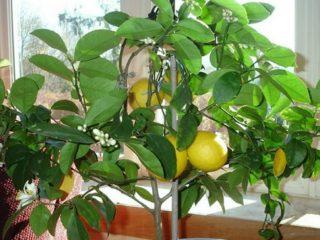 У лимона опадают листья: что делать
