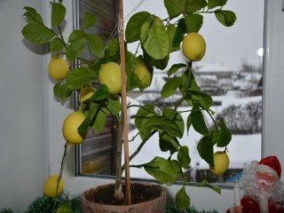 Павловский лимон (Павлова): уход в домашних условиях