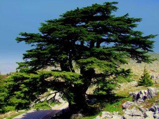 Ливанский кедр: фото и описание