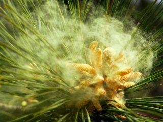 Полезные свойства пыльцы сосны