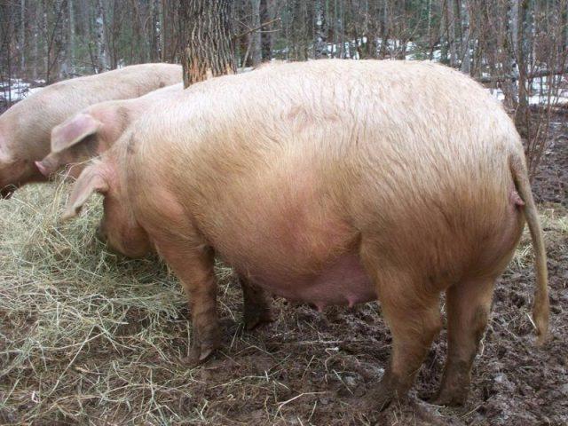 через сколько опоросится свинья