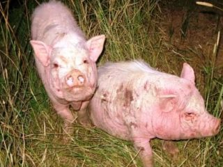 Чесотка (короста, парша, саркоптоз) у свиней: лечение, симптомы, фото