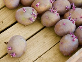 Картофель Сиреневый туман: описание сорта, фото