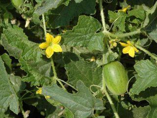Огурдыня Нектарин и Мандурия: отзывы, выращивание и уход