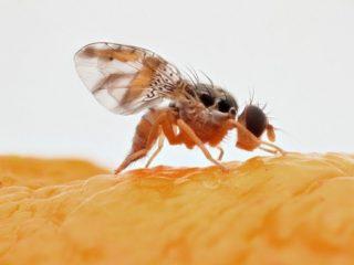 Дынная муха: фото, описание, методы борьбы