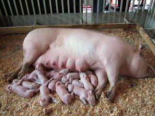 Сколько свинья вынашивает поросят