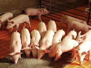 Состав комбикорма для свиней и поросят: таблица, нормы кормления, рецепты