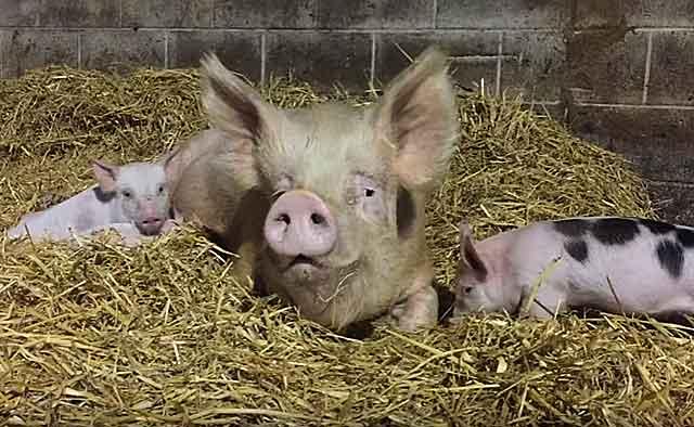 Условия содержания свиней содержание на глубокой подстилке