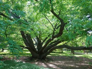 Дерево бук: фото и описание