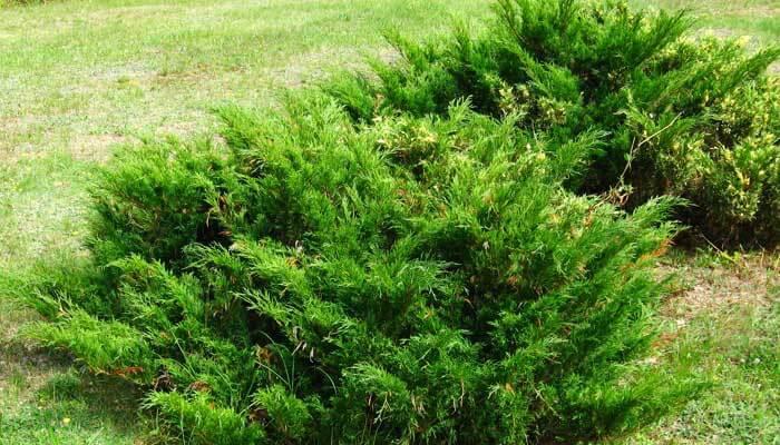 Сибирский можжевельник — морозоустойчивое растение