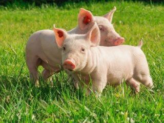 Свиньи и поросята плохо едят и не растут: что делать