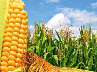 Кукурузные сорта