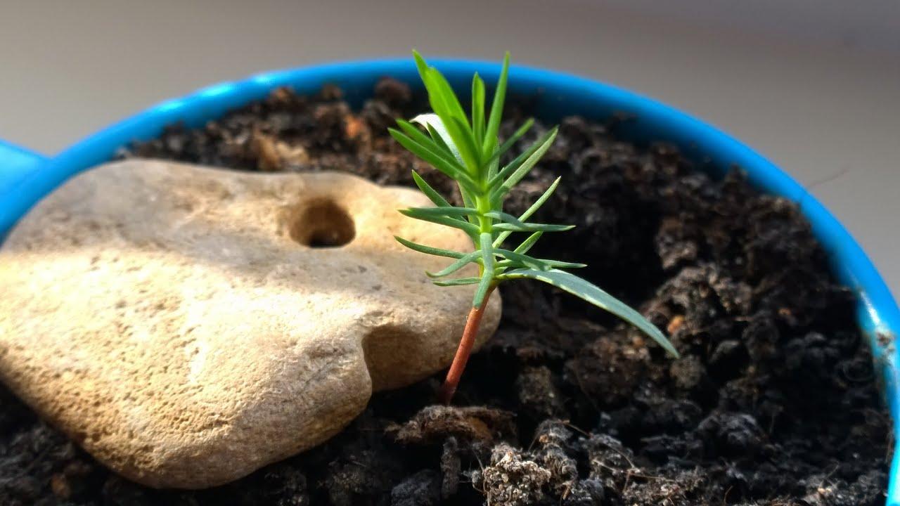 ТОП-7 шагов от шишки до елки: выращиваем хвойные из семян