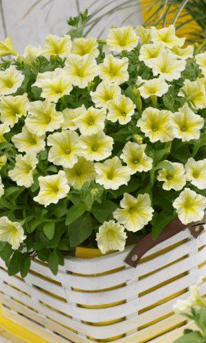 Цветы Петуния лимонная Гигант F1