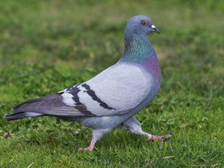Сколько и где живут голуби