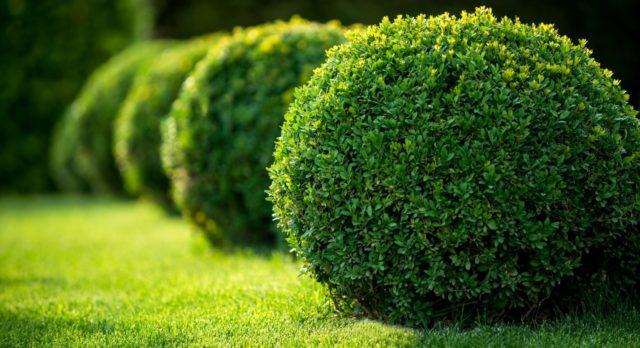Когда пересаживать самшит на другое место: пересадка осенью и весной