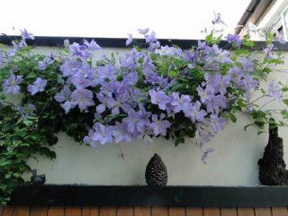 Клематис Голубой Ангел: фото и описание, отзывы