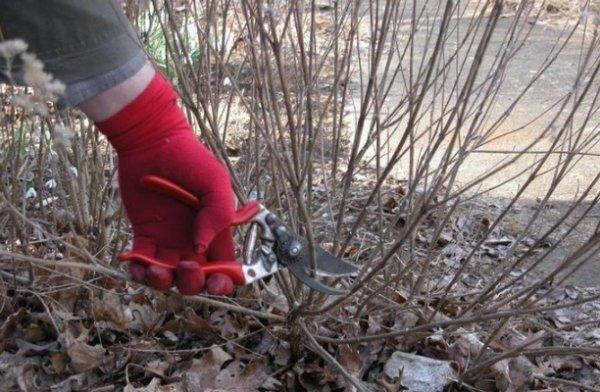 Вейгела: подготовка к зиме, как обрезать, как укрывать, чем подкормить