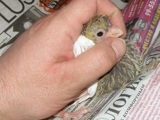 Как кормить маленького голубя