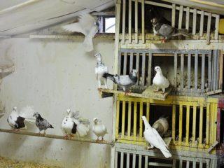 Как построить голубятню и гнезда для голубей