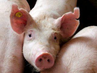 Выращивание свиней в домашних условиях как бизнес