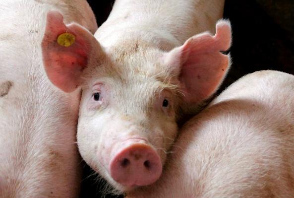 Откорм свиней бизнес план бизнес идеи из грязи
