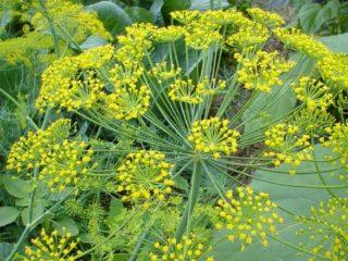 Укроп: это овощ или трава, виды и сорта (семена) по срокам созревания