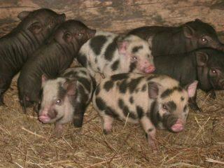 Разведение свиней для начинающих