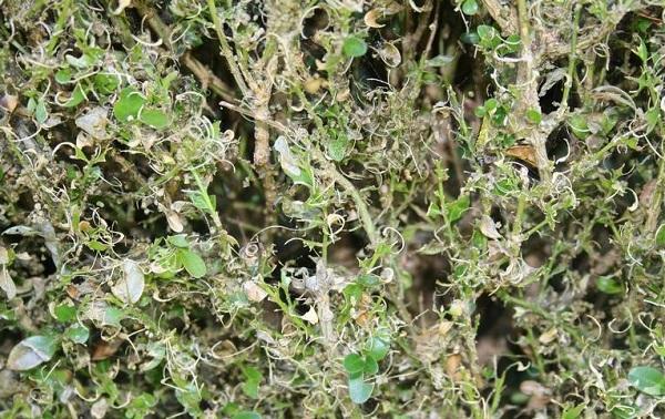 Самшит посадка и уход в открытом грунте в сибири