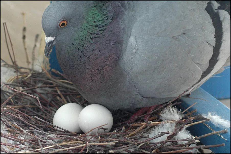 Можно ли есть голубиные яйца