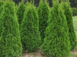 Хвойные растения (хвойники) для дачи с фото и названиями