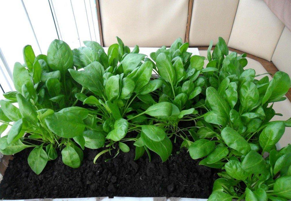 Выращивание шпината на подоконнике из семян