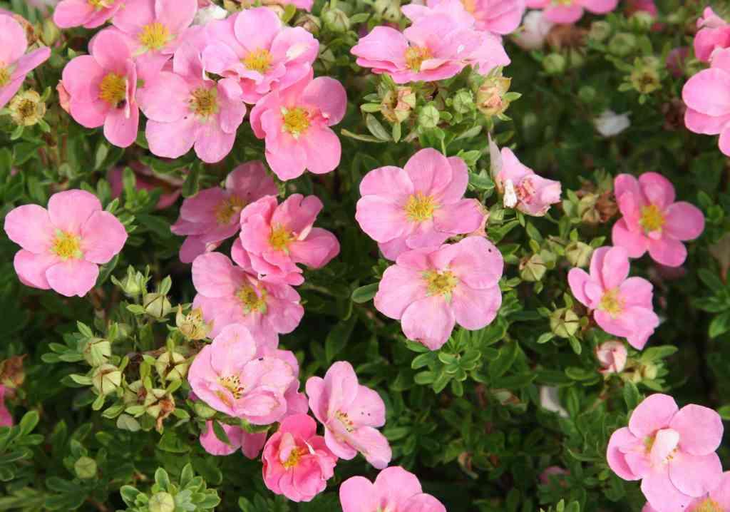 Лапчатка принцесса розовая посадка и уход