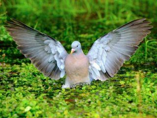 Голубь витютень (вяхирь): описание, фото