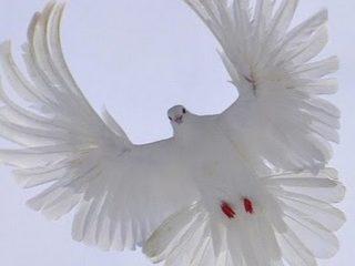 Серпастые голуби: полет и описание