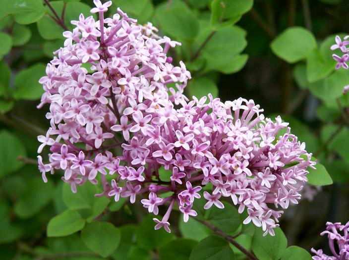 Карликовая сирень мейера — Цветы365